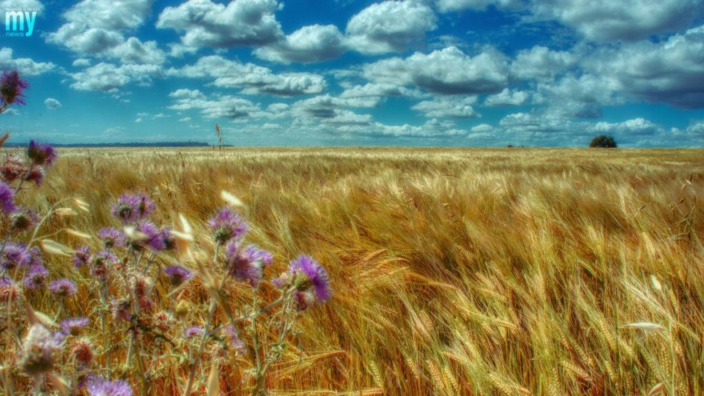 Campo di grano Molise2020