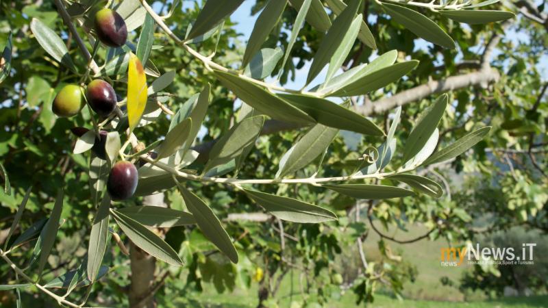 OliveMolise