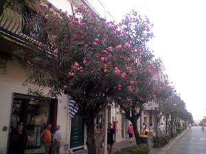 Oleandri del Corso
